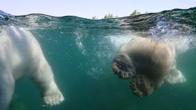 Two polar bear swimming underwater Stock Images