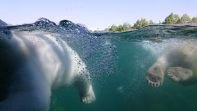 Two polar bear swimming underwater Royalty Free Stock Photos