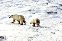 Two polar bears Stock Images