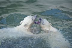 Two polar bears Royalty Free Stock Photography