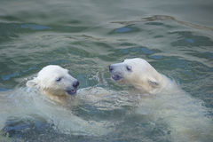 Two polar bears. Two little white polar bears in water Stock Photo