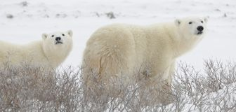 Two polar bears. Large polar bears on the arctic snow near Hudson Bay, sniffing the air.Snow.Tundra Stock Images