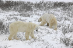 Two polar bears. Royalty Free Stock Photography
