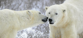 Two polar bears. Stock Photo