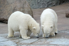Two polar bears drink from a pool. Two little polar bears drink from a pool royalty free stock image