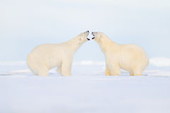 Two polar bears fight on the ice. Animal behaviour in Arctic Svalbard, Norway. Polar bear conflict with open snout in Svalbard. Co. Two polar bears fight on the Stock Photo