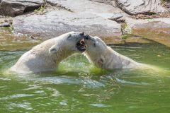 Two polar bears in the fight Stock Photos