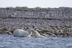 Two Polar Bears fighting in the arctic ocean near Arviat royalty free stock photography