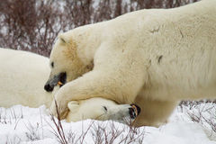 Two polar bears fighting and biting Royalty Free Stock Photo