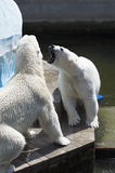 Two polar bears Royalty Free Stock Photos