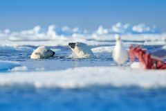 Two polar bears with killed seal. White bear feeding on drift ice with snow, Manitoba, Canada. Bloody nature with big animals. Dangerous baer with carcass stock image