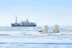 Two polar bears with killed seal. White bear feeding on drift ice with snow, Svalbard, Norway. Bloody nature with big animals. Dangerous animal with carcass of royalty free stock photography