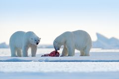 Two polar bears with killed seal. White bear feeding on drift ice with snow, Svalbard, Norway. Bloody nature with big animals. Dangerous baer with carcass stock image