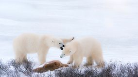 Two white fluffy polar bears in the Arctic snow. royalty free stock image