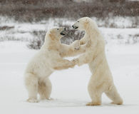 Two polar bears play fighting. Polar bears fighting on snow have got up on hinder legs Stock Photo