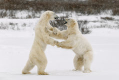 Two polar bears play fighting. Polar bears fighting on snow have got up on hinder legs Royalty Free Stock Photos