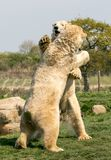 Two Polar bears play fighting. Two of Yorkshire Wildlife Parks polar bears. these two decided to have a play fight stock photography