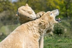 Two Polar bears play fighting. Two of Yorkshire Wildlife Parks polar bears. these two decided to have a play fight stock images