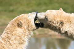 Two Polar bears play fighting. Two of Yorkshire Wildlife Parks polar bears. these two decided to have a play fight royalty free stock photos