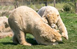 Two Polar bears play fighting. Two of Yorkshire Wildlife Parks polar bears. these two decided to have a play fight stock photo