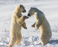 Two polar bears playing with each other in the tundra. Canada.  Stock Photography