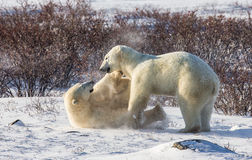 Two polar bears playing with each other in the tundra. Canada.  Royalty Free Stock Photos