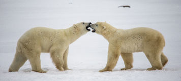 Two polar bears playing with each other in the tundra. Canada. Stock Image