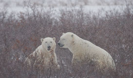 Two polar bears playing with each other in the tundra. Canada. Royalty Free Stock Photo