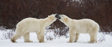 Two polar bears playing with each other in the tundra. Canada. Stock Images