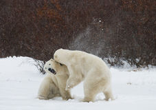 Two polar bears playing with each other in the tundra. Canada. Stock Photo