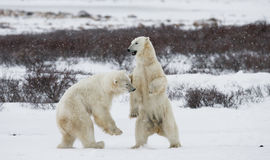 Two polar bears playing with each other in the tundra. Canada. Stock Photos