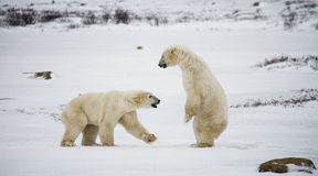 Two polar bears playing with each other in the tundra. Canada. Royalty Free Stock Image