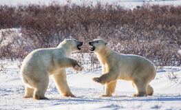 Two polar bears playing with each other in the tundra. Canada. Royalty Free Stock Photography