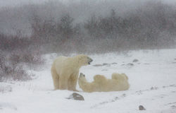 Two polar bears playing with each other in the tundra. Canada. An excellent illustration Royalty Free Stock Image