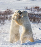 Two polar bears playing with each other in the tundra. Canada. An excellent illustration Royalty Free Stock Photos