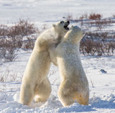 Two polar bears playing with each other in the tundra. Canada. An excellent illustration Stock Photo