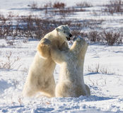 Two polar bears playing with each other in the tundra. Canada. An excellent illustration Stock Photography