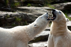 Two polar bears Royalty Free Stock Images