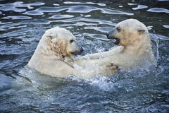 Two polar bears playing Royalty Free Stock Photos