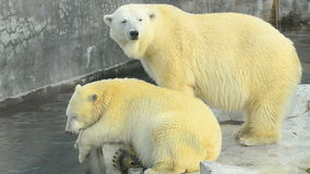 Two polar bears resting. On rocks near the water stock video footage