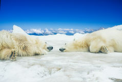 Two polar bears sleep on ice Stock Images