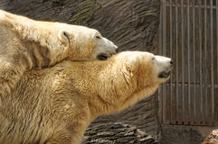 Two polar bears Royalty Free Stock Photo
