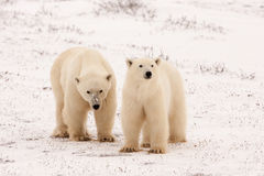 Two Polar Bears Standing Side by Side. Facing Camera Outdoors in Snowy Landscape stock photos