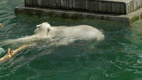 Two polar bears swimming in the pool. stock video footage