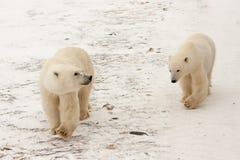 Two Polar Bears Walking in Snow. Two Polar Bears Walking Together in Snow and Looking Around royalty free stock images