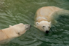 Two polar bears in water Stock Images