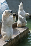 Two polar bears in the zoo Stock Photos