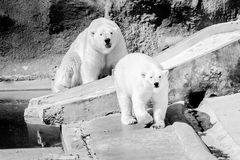 Two polar bears in the zoo stock images