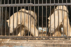 Two polar bears in the zoo cage Stock Image