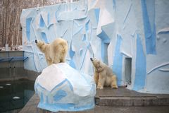 Two polar white bear in the zoo. Two white polar bear in a zoo on a sunny day are the same. One bear stands on a stone, the second sits, leaning against the wall royalty free stock image